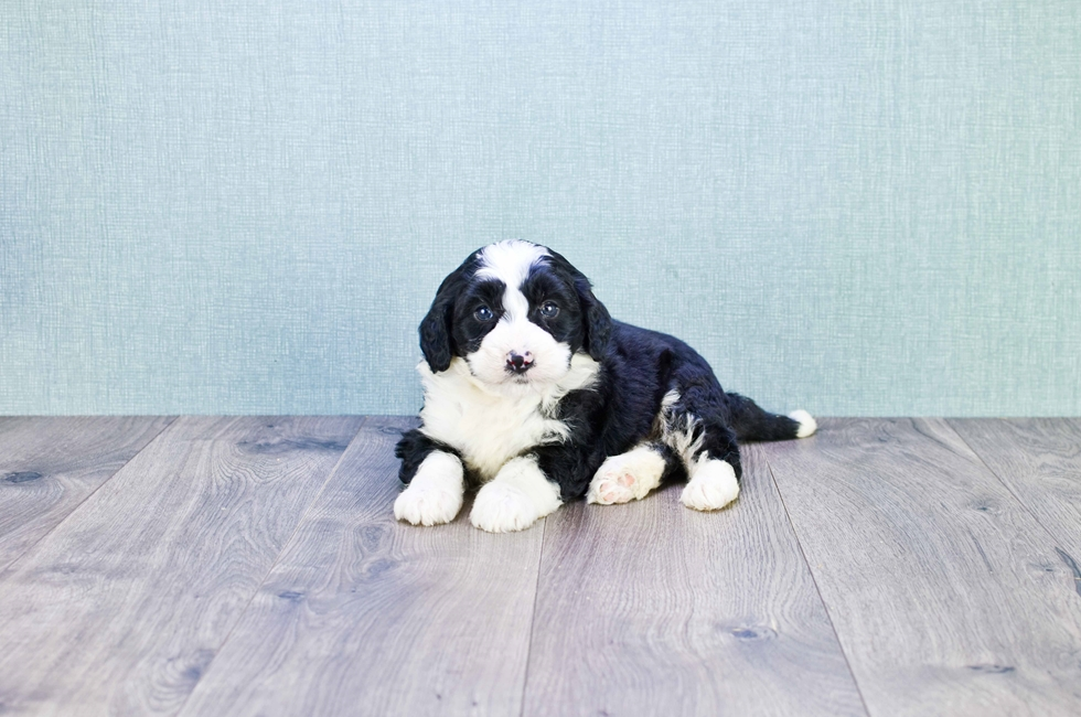 MINI BERNEDOODLE PUPPY - 8 week old Mini Bernedoodle for sale