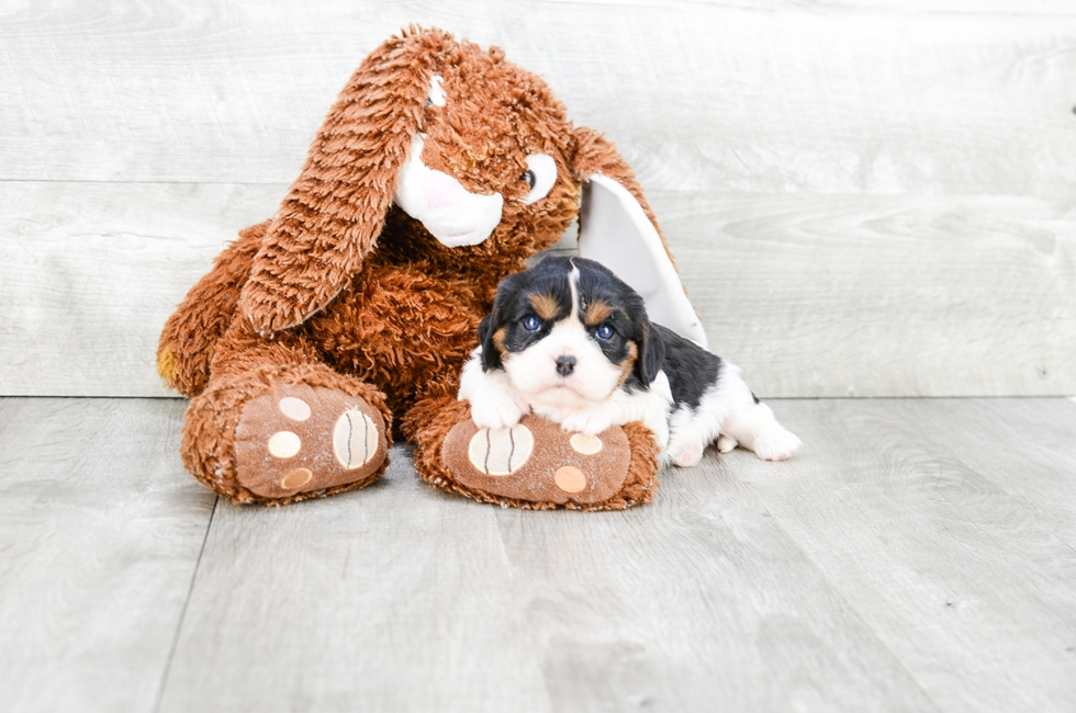 CAVALIER KING CHARLES SPANIEL PUPPY - 5 week old Cavalier King Charles Spaniel for sale