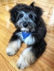 Mini Aussiedoodle Puppy For Sale Premier Pups