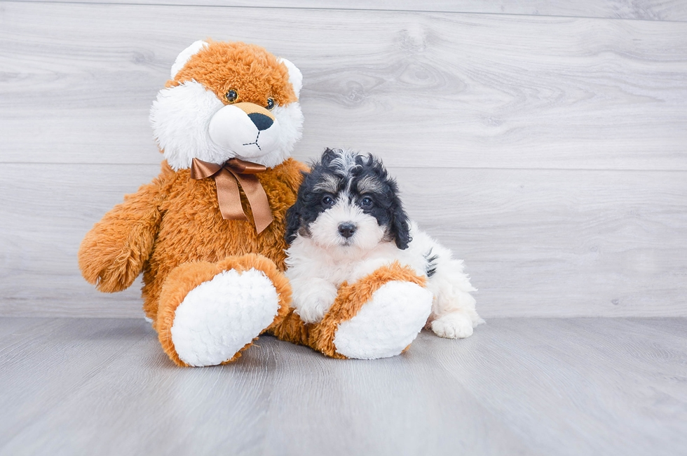 F2 MINI BERNEDOODLE PUPPY - 7 week old Mini Bernedoodle for sale