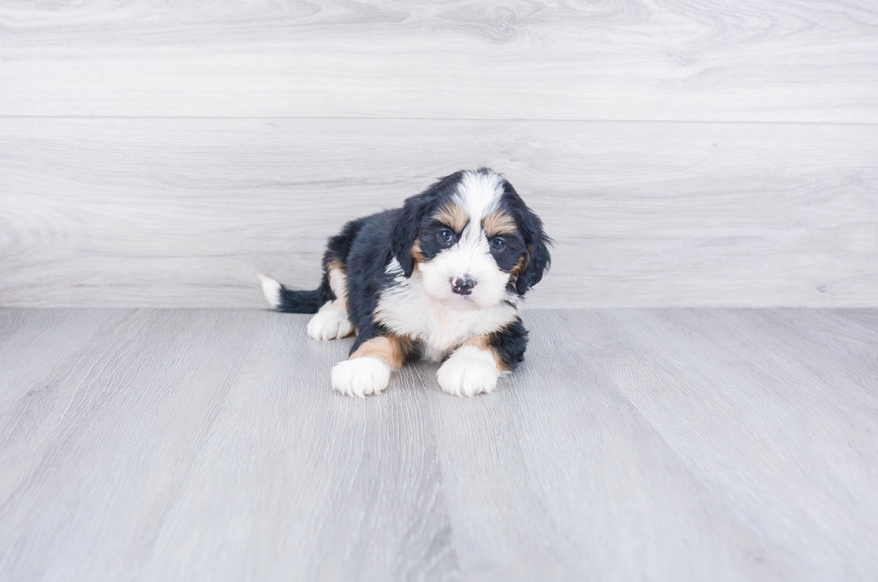 F1 MINI BERNEDOODLE PUPPY - 9 week old Mini Bernedoodle for sale