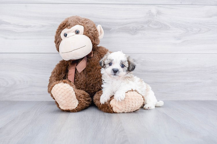 TEDDY BEAR PUPPY 3