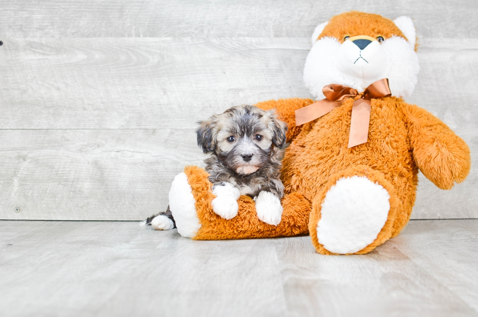 HAVANESE PUPPY - 5 week old Havanese for sale