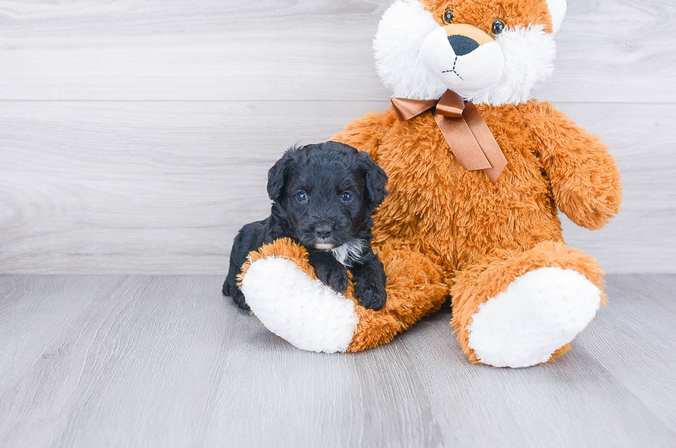 MINI AUSSIEDOODLE PUPPY - 7 week old Mini Aussiedoodle for sale