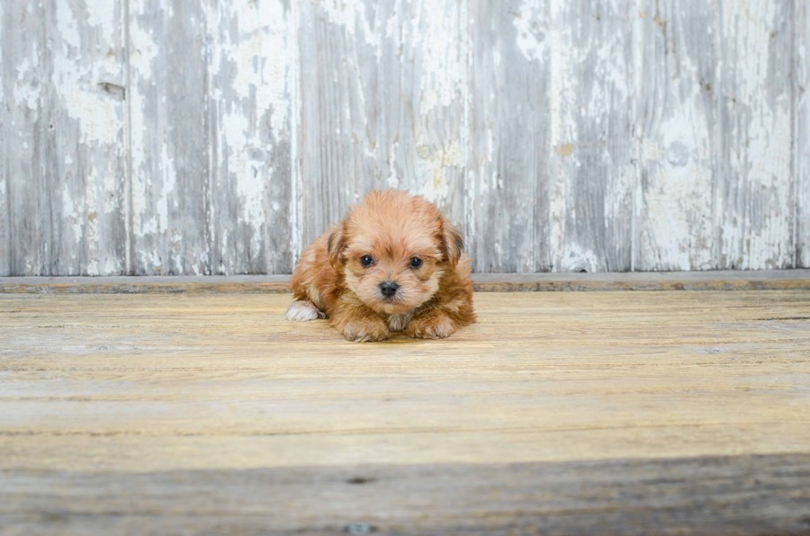 TEACUP MORKIE PUPPY 4