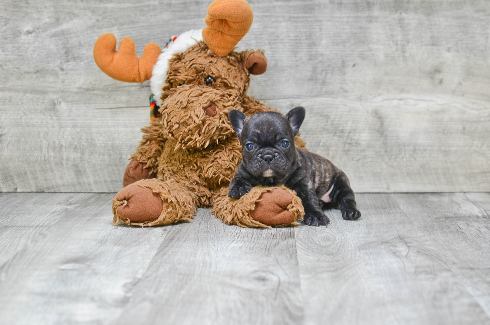 FRENCH BULLDOG PUPPY - 5 week old French Bulldog for sale