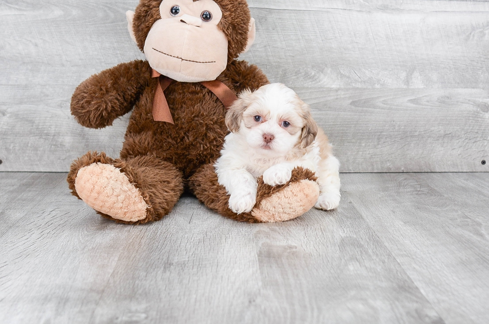 SHIH POO PUPPY - 8 week old Teddy Bear for sale