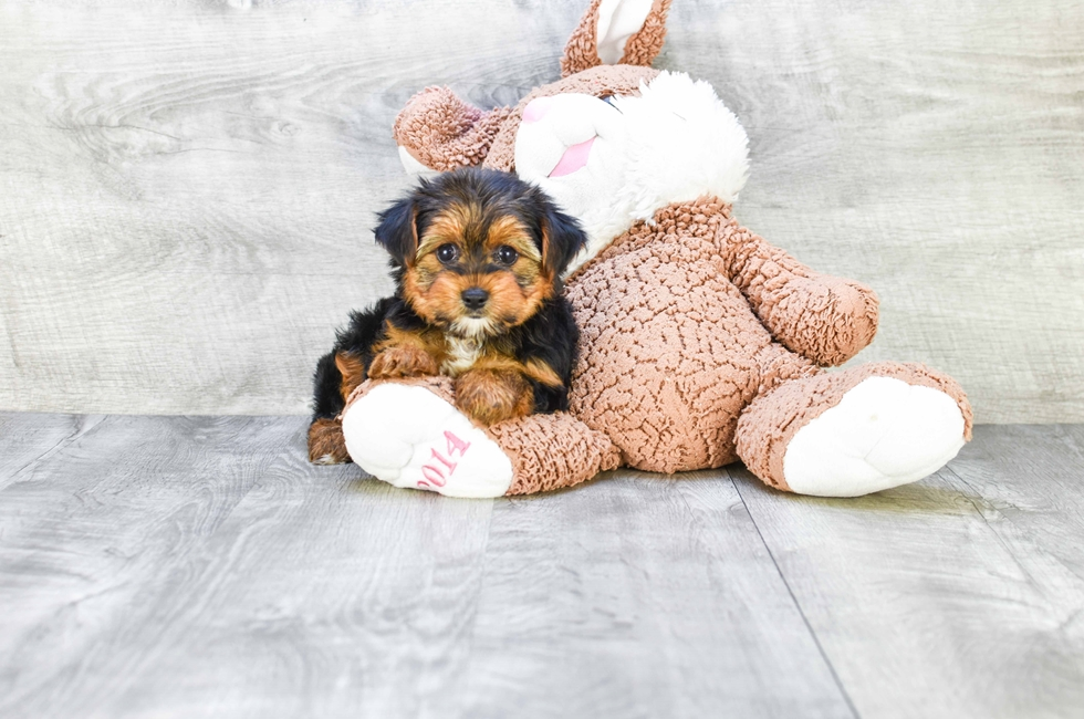 YORKIE PUPPY - 9 week old Yorkshire Terrier for sale