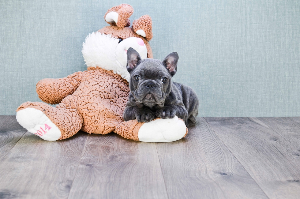 FRENCH BULLDOG PUPPY - 12 week old French Bulldog for sale