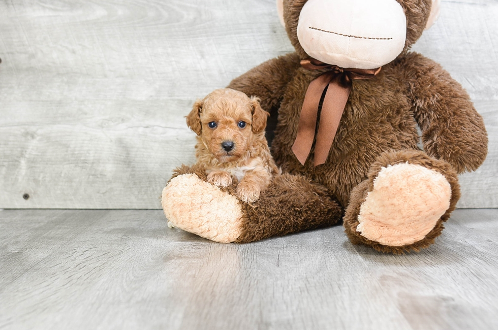TOY POODLE PUPPY - 7 week old Poodle for sale