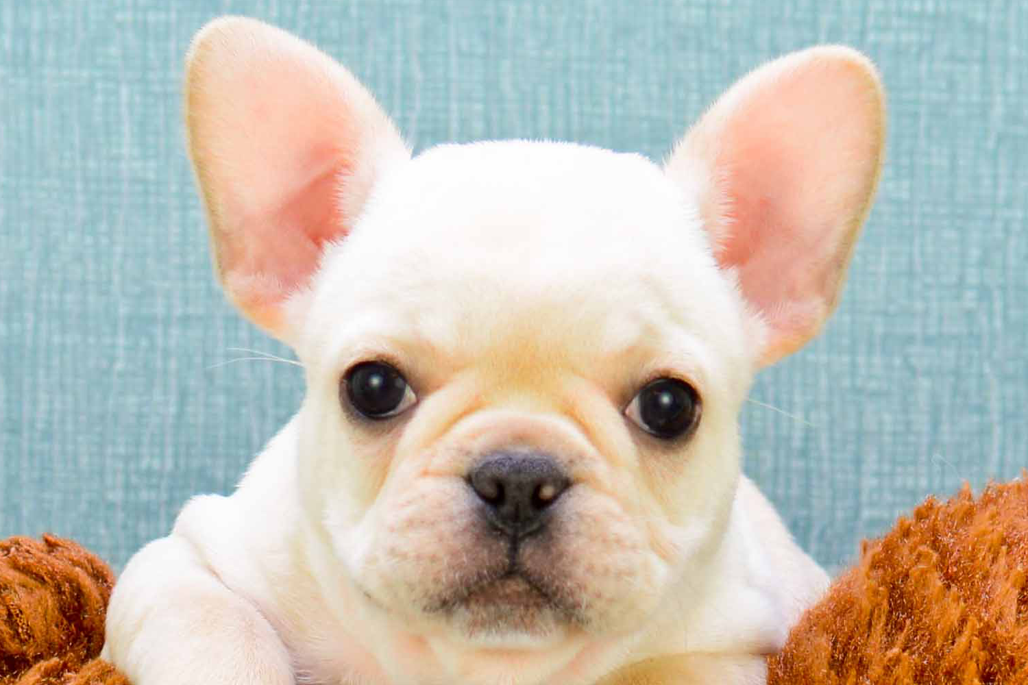 french bulldogs for sale in ohio