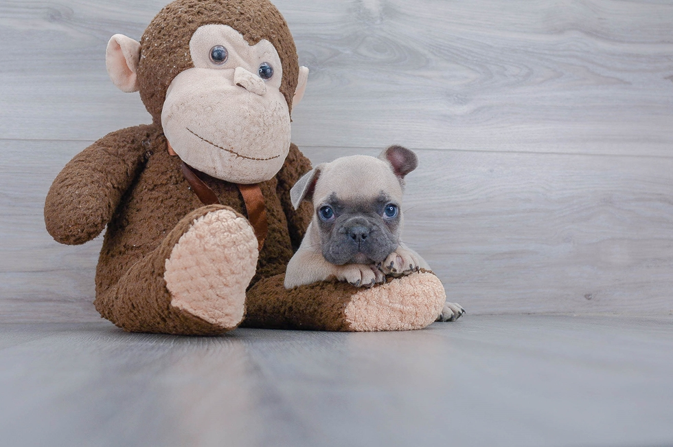 8 week old French Bulldog Puppy For Sale Premier Pups