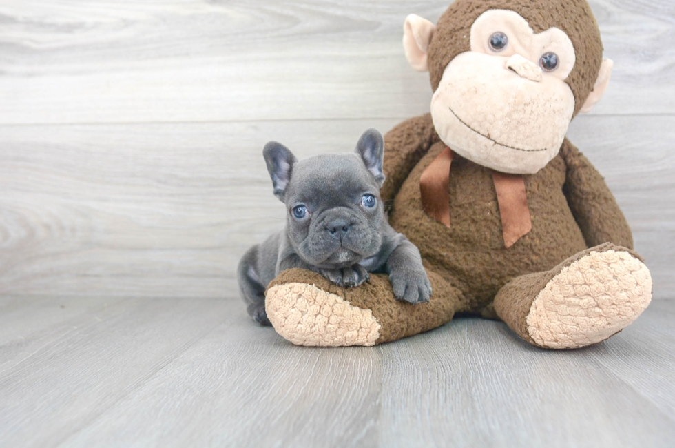 6 week old French Bulldog Puppy For Sale Premier Pups
