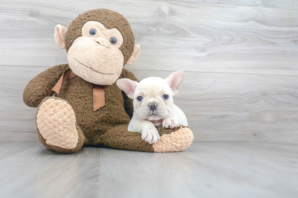 7 week old French Bulldog Puppy For Sale Premier Pups