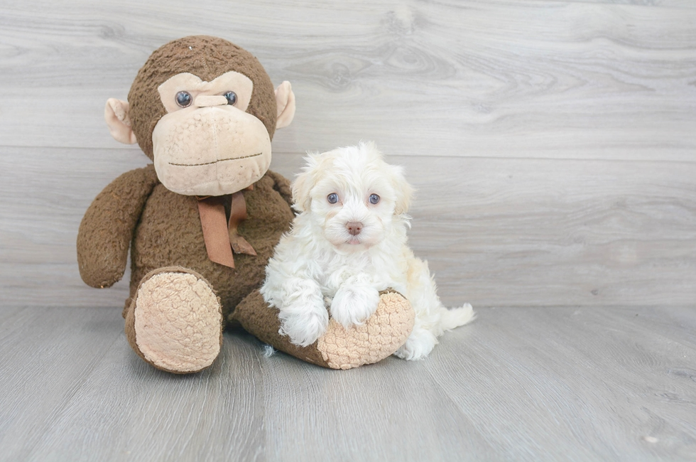 7 week old Havanese Puppy For Sale Premier Pups