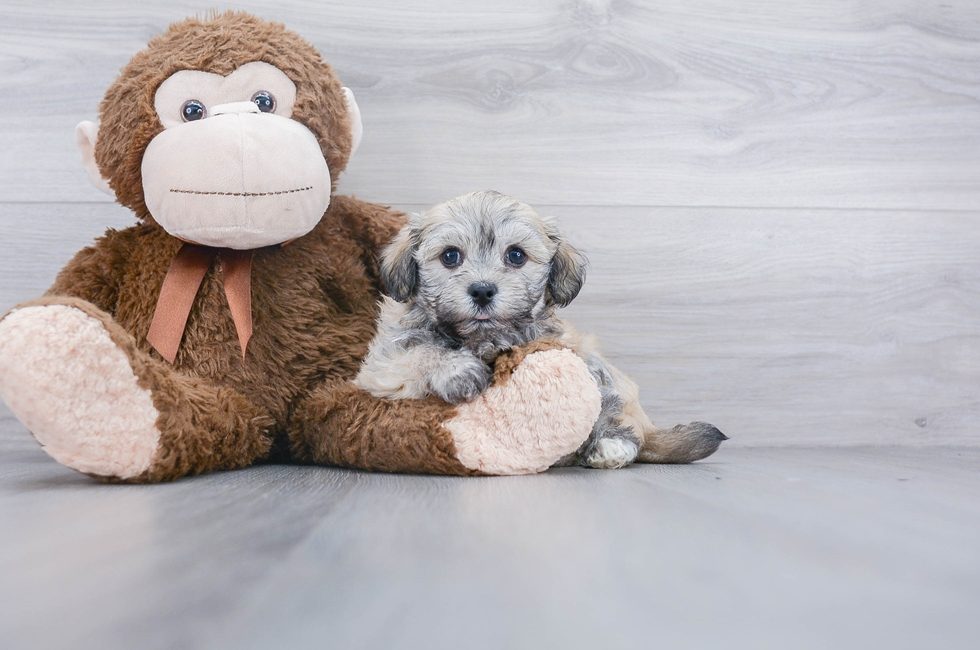 6 week old Havanese Puppy For Sale Premier Pups