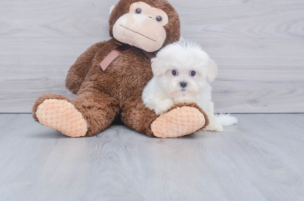10 week old Maltese Puppy For Sale Premier Pups