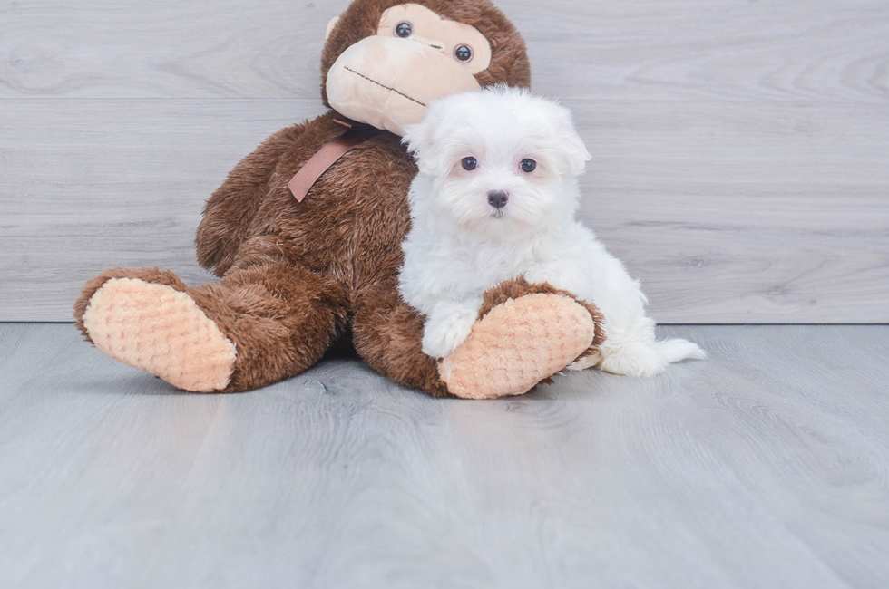 8 week old Maltese Puppy For Sale Premier Pups