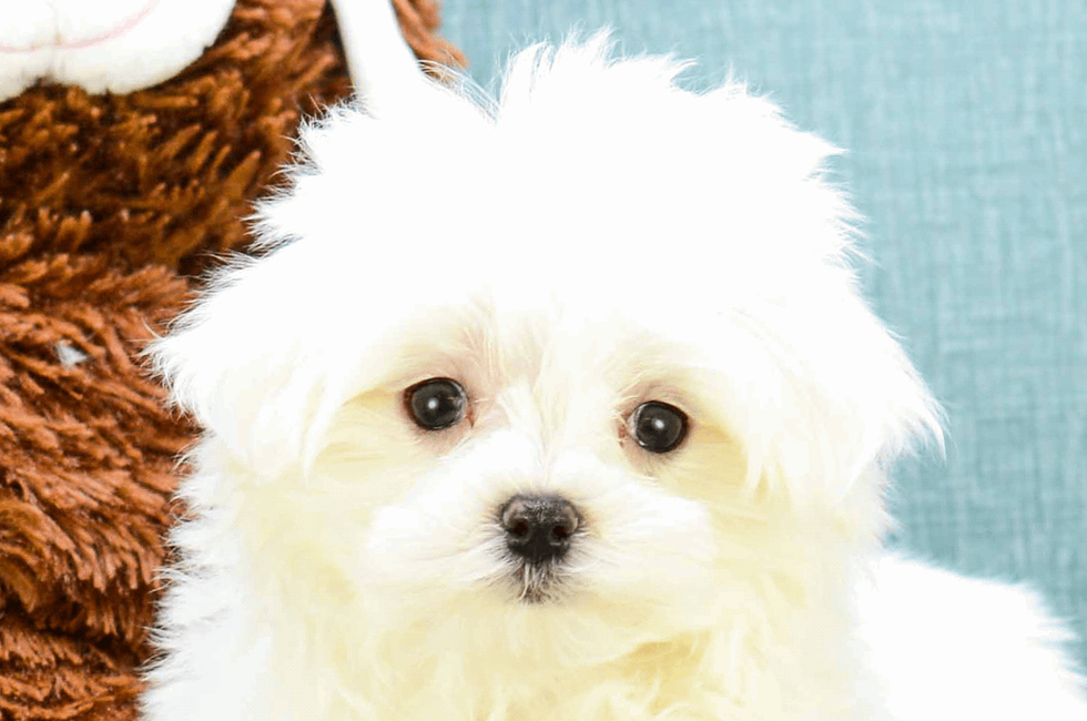 Maltese Puppies For Sale Toy Purebred Maltese Puppies