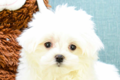 maltese haircuts styles pictures maltese puppies for purebred maltese puppies 1195