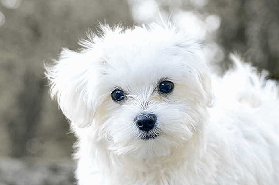 Maltese Puppies For Premier Pups