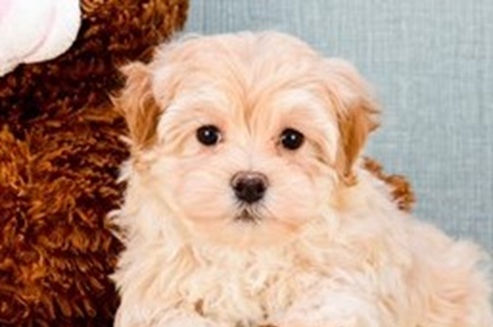 Maltipoo Puppies For Sale Us Shipping Premierpupscom