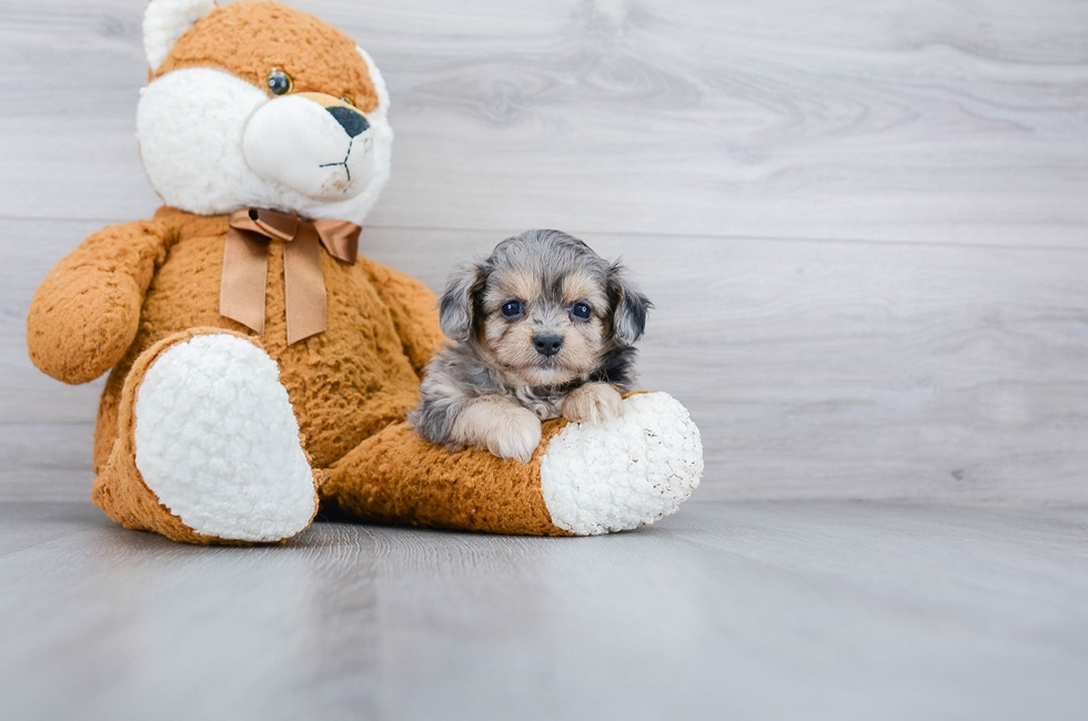 6 week old Maltipoo Puppy For Sale Premier Pups
