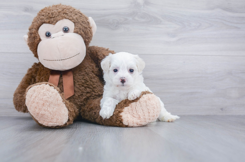 8 week old Maltipoo Puppy For Sale Premier Pups