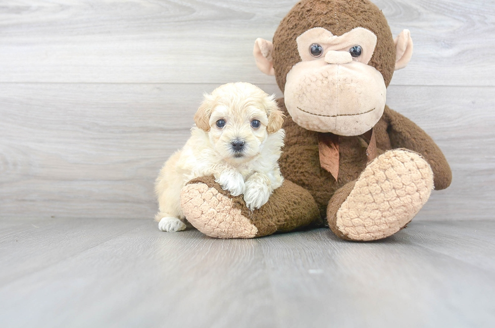 7 week old Maltipoo Puppy For Sale Premier Pups
