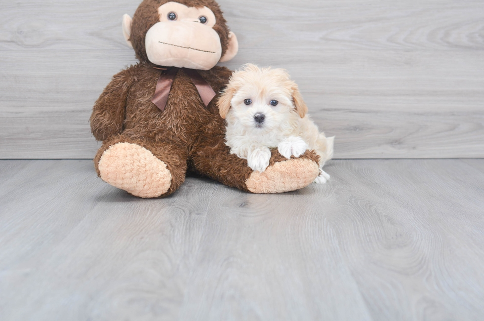 9 week old Maltipoo Puppy For Sale Premier Pups