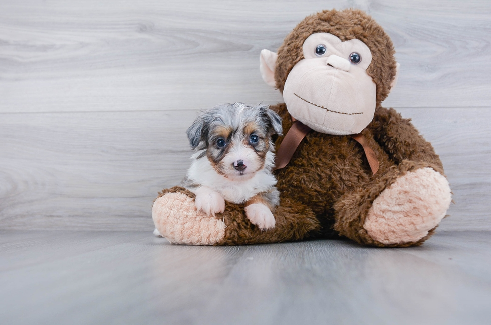 7 week old Mini Aussiedoodle Puppy For Sale Premier Pups