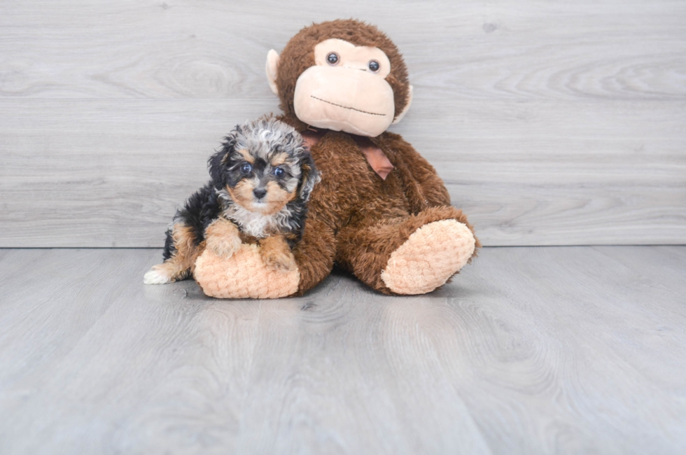 10 week old Mini Aussiedoodle Puppy For Sale Premier Pups