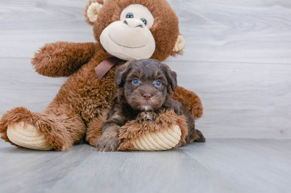 8 week old Mini Aussiedoodle Puppy For Sale Premier Pups