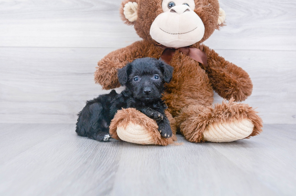 6 week old Mini Aussiedoodle Puppy For Sale Premier Pups