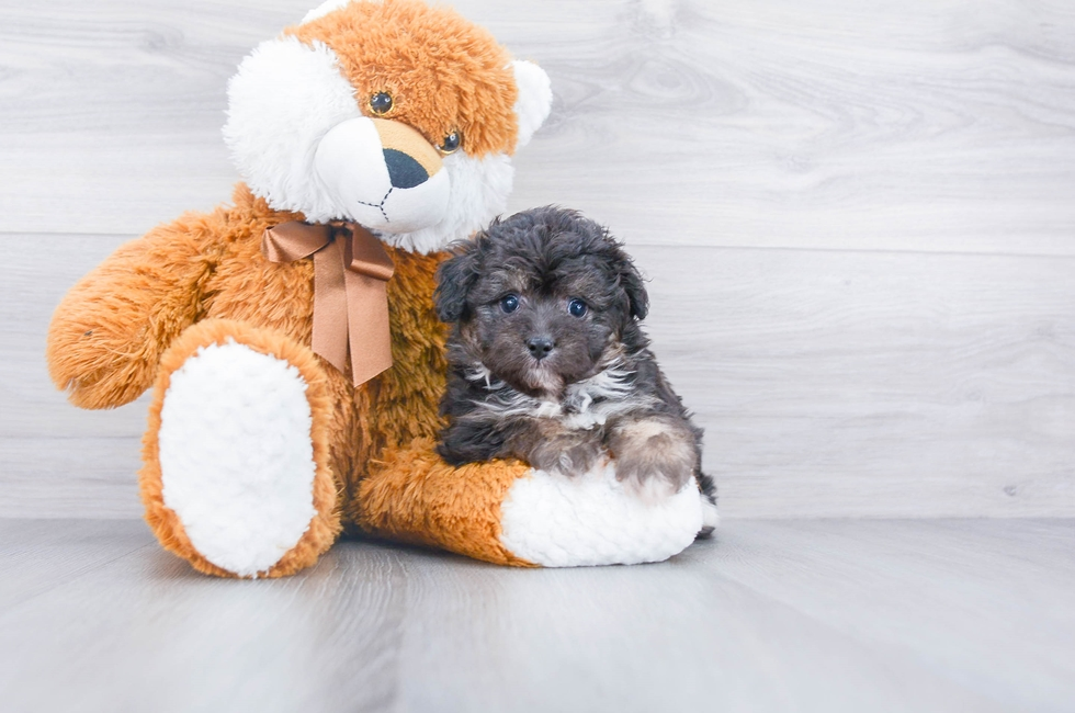 5 week old Mini Aussiedoodle Puppy For Sale Premier Pups