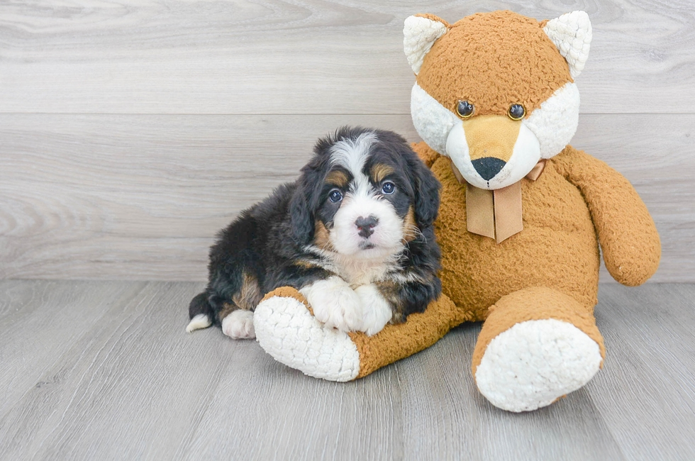 7 week old Mini Bernedoodle Puppy For Sale Premier Pups