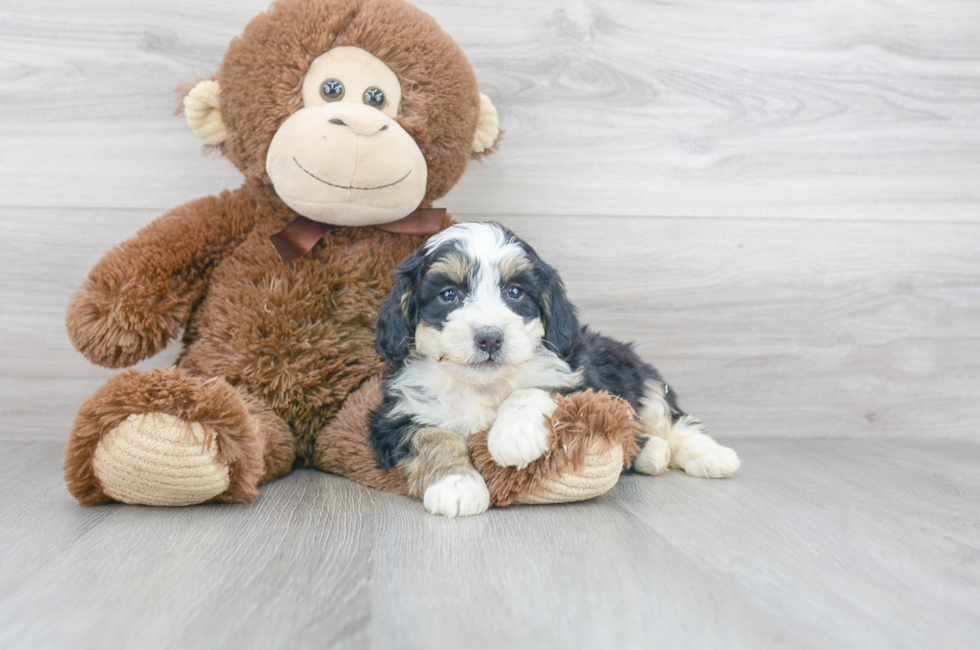5 week old Mini Bernedoodle Puppy For Sale Premier Pups