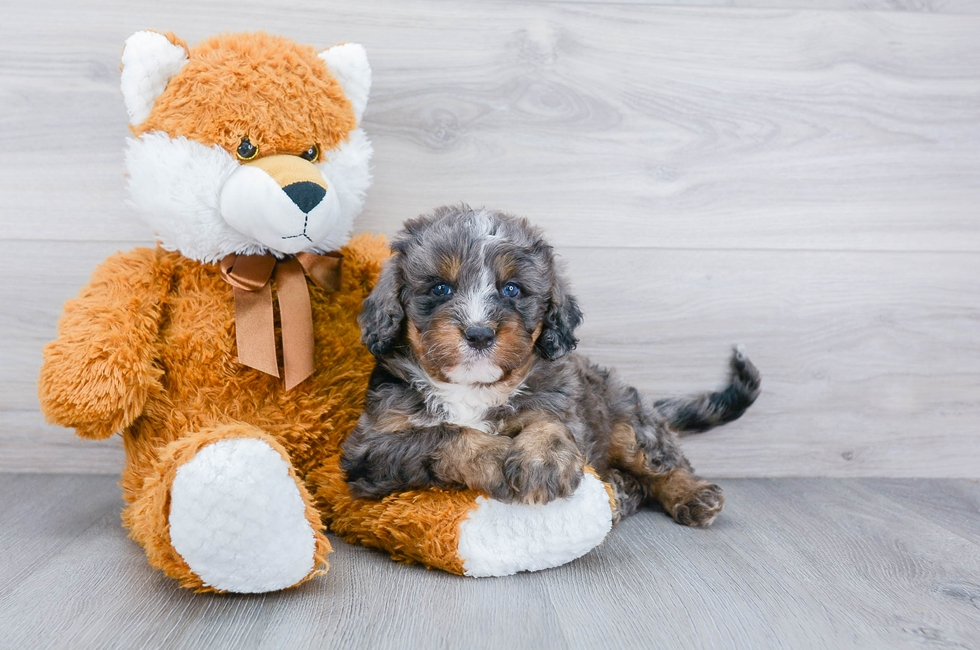 8 week old Mini Bernedoodle Puppy For Sale Premier Pups