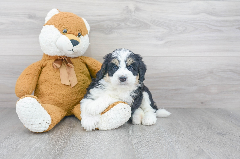 6 week old Mini Bernedoodle Puppy For Sale Premier Pups