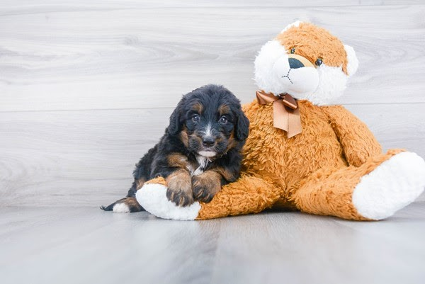 Mini Bernedoodle Puppy For Sale Premier Pups