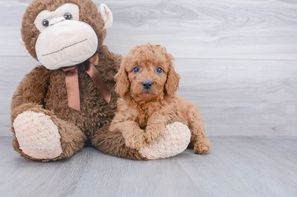 5 week old Mini Goldendoodle Puppy For Sale Premier Pups