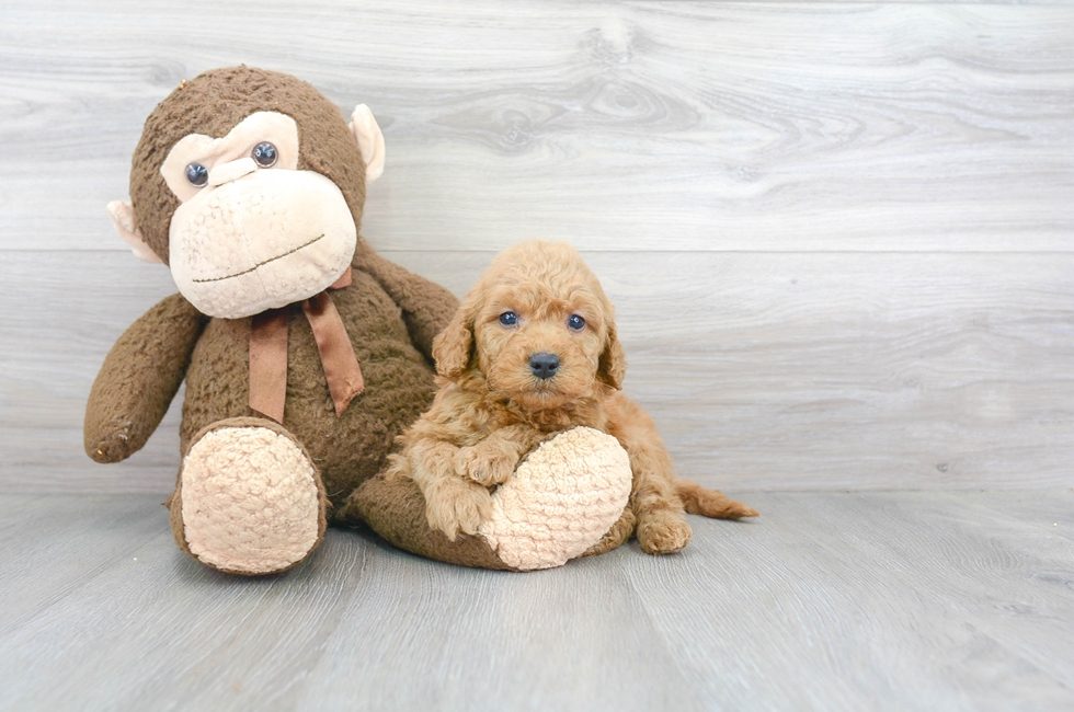 9 week old Mini Goldendoodle Puppy For Sale Premier Pups