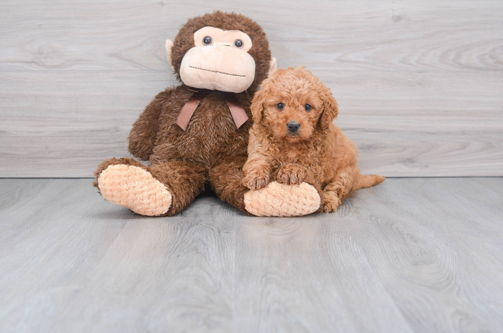 8 week old Mini Goldendoodle Puppy For Sale Premier Pups