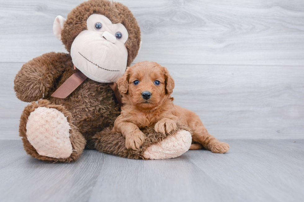 F1B MINI GOLDENDOODLE PUPPY - 4 week old Mini Goldendoodle for sale