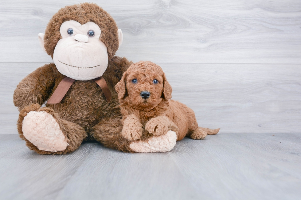 4 week old Mini Goldendoodle Puppy For Sale Premier Pups