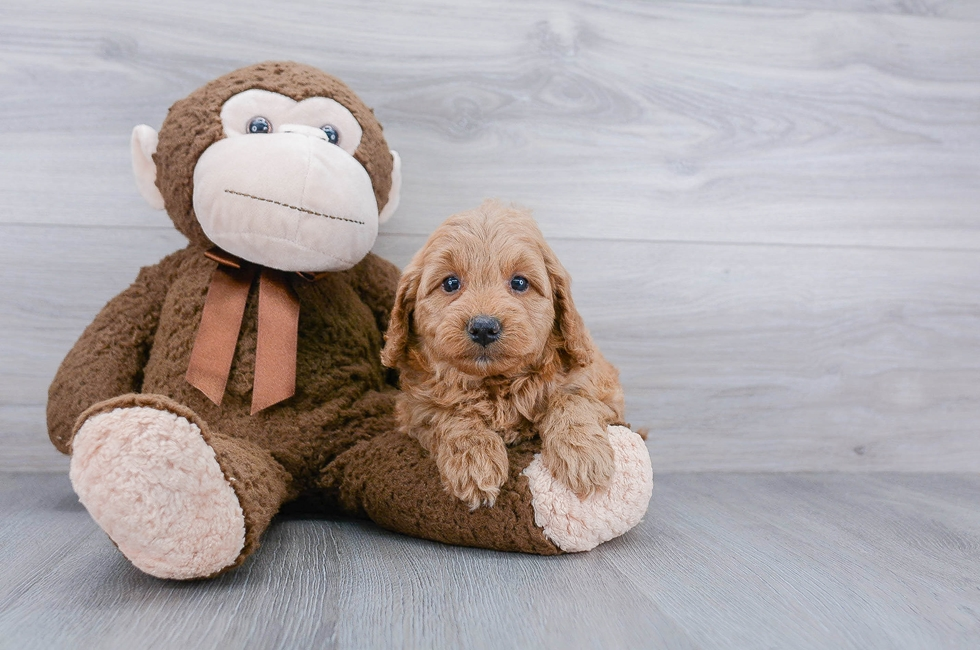 7 week old Mini Goldendoodle Puppy For Sale Premier Pups