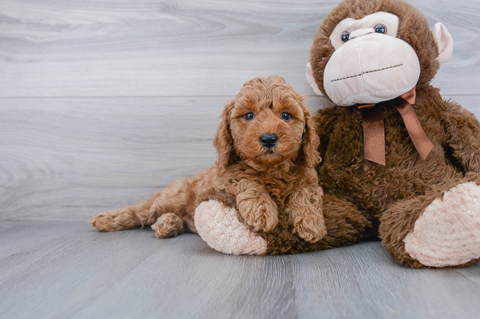 6 week old Mini Goldendoodle Puppy For Sale Premier Pups