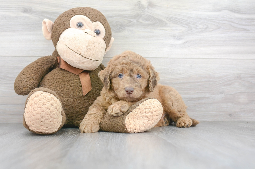6 week old Mini Labradoodle Puppy For Sale Premier Pups