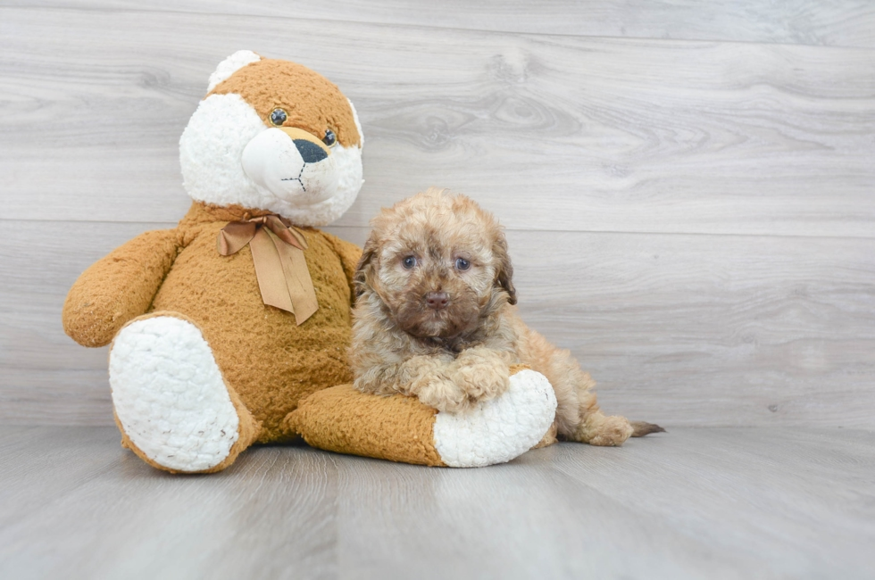7 week old Mini Labradoodle Puppy For Sale Premier Pups