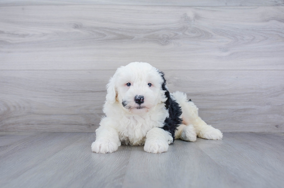 6 week old Mini Sheepadoodle Puppy For Sale Premier Pups